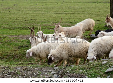 Goats and sheeps grazing in the field - stock photo