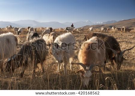 Goats at Tso Mioriri, Ladakh, India - stock photo