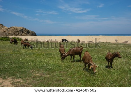 Goats grazing on the beach, Skiathos, Greece - stock photo