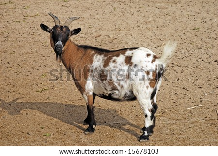 goats in the farm - stock photo