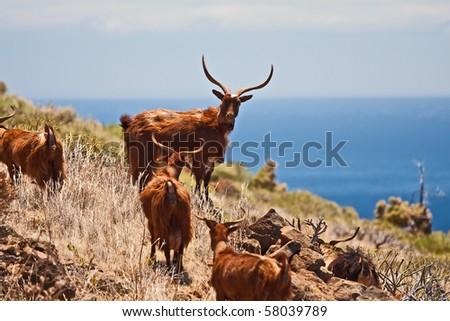 Goats on La Palma, Canary Islands - stock photo