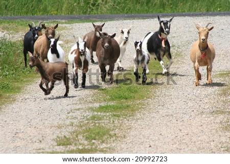 goats running down gravel road - stock photo