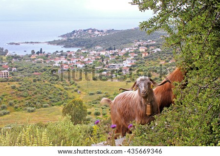 Goats with sea and  in the background