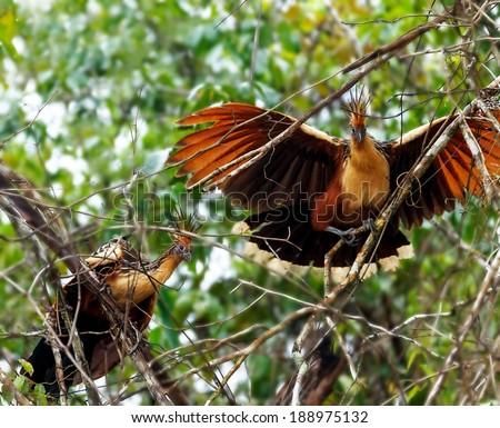 Goatsin (Opisthocomus hoazin) on a tree in the Orinoco Delta, Venezuela - stock photo