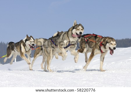 gogs team running in the snow - stock photo