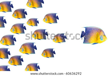 Going different way and standing out of crowd concept with angelfish - stock photo