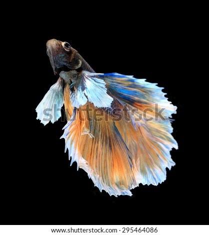 Gold and blue siamese fighting fish, betta fish isolated on black background. - stock photo