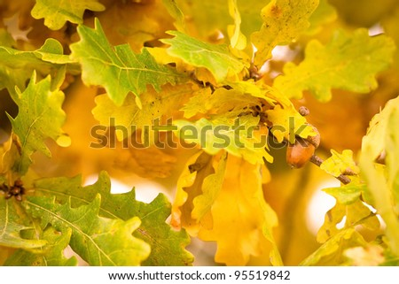 Gold autumn colors of oak leaves with acorn - stock photo