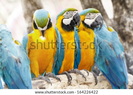 Gold blue parrot macaw