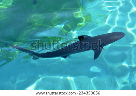 GOLD COAST, AUS -  NOV 06 2014:Grey reef shark in Sea World Gold Coast Australia.It's the first shark species known to perform a threat behavior display warning that it is prepared to attack. - stock photo