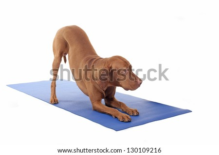 gold color pure breed dog - stock photo