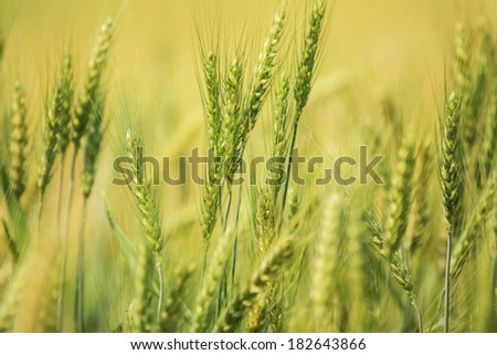 Gold Crop fields of barley. - stock photo