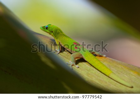 Gold day gecko on leaf - stock photo