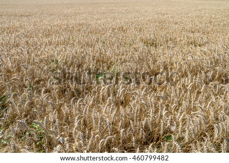 Gold dry wheat field in warm summer