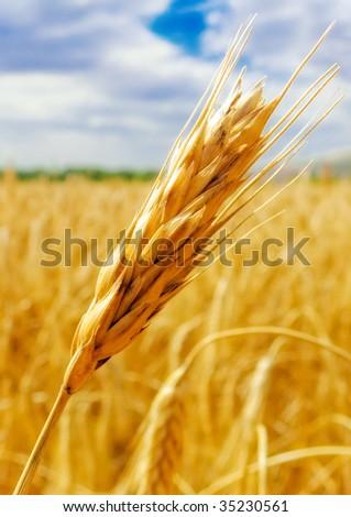 Gold ear - stock photo