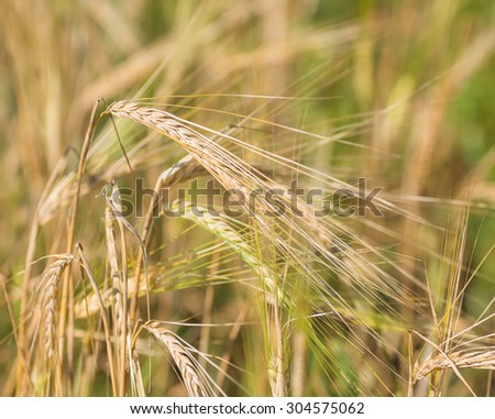gold ears of wheat under sky. shallow depth of field - stock photo