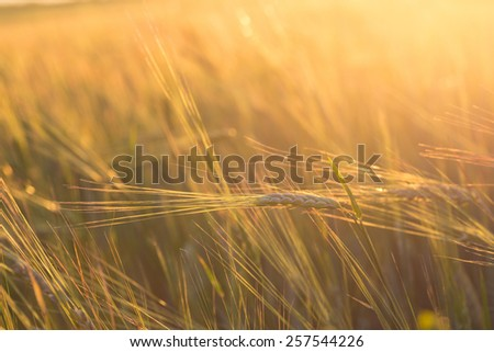 gold ears of wheat under sky. soft focus on field - stock photo