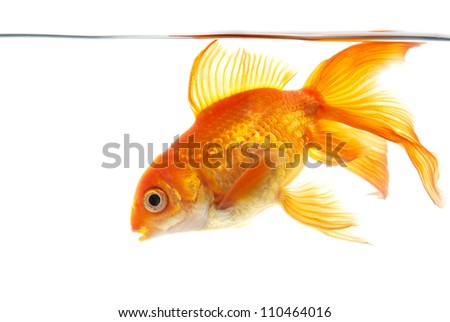 Gold fish (golden carp) isolated on the white background