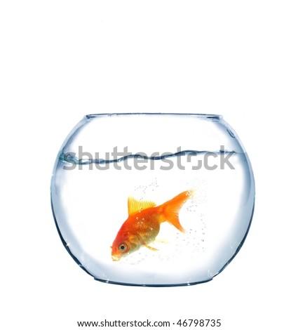 gold fish in aquarium on white background - stock photo