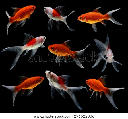 gold fish isolated on black  background - stock photo