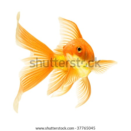 gold fish isolated on white - stock photo