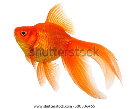 Gold fish isolated on white background stock photo for Photos of fish