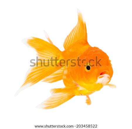 Gold fish. Isolation  on the white. - stock photo