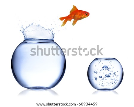 Gold fish jumping of aquarium into fresh one - stock photo