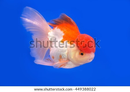 gold fish on blue background - stock photo