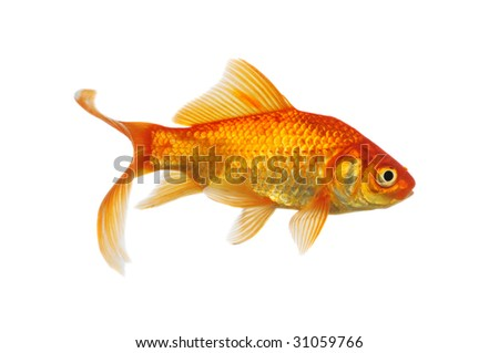 Gold Fish side view isolated on a white background