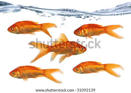 Gold fish swimming in one directions while one swims in the opposite direction - stock photo
