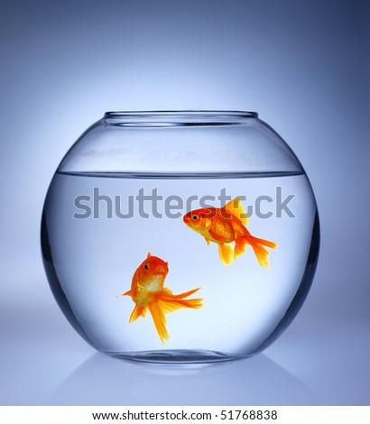 Gold fishes in aquarium - stock photo