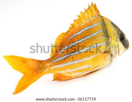 Gold fresh fish on a white background - stock photo