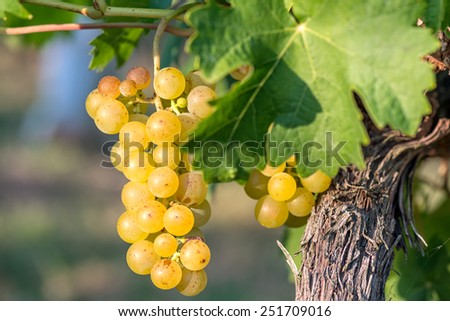 Gold Grapes on the Vine and green leaves - stock photo