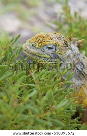 Gold iguana. Galapagos dragon ancient reptile