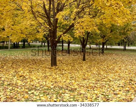 Gold in autumn - stock photo