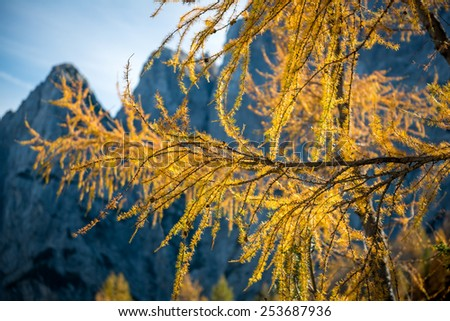 Gold Larix branches, Closeup of a Larch tree with fall foliage - stock photo