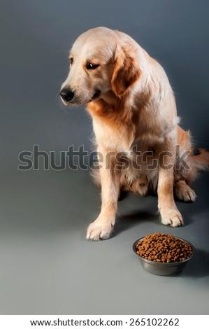 Gold retriever do not eats - stock photo