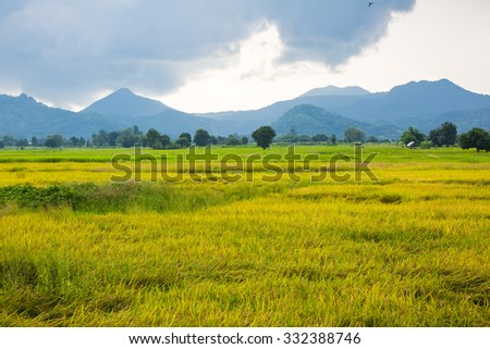 Gold rice field with the blue sky and mountain.