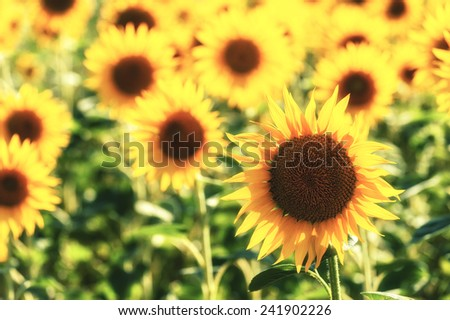 Gold solar field of sunflowers in Tuscany, Italy - stock photo