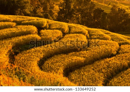 Gold terraced rice field  at sunset in Thailand - stock photo