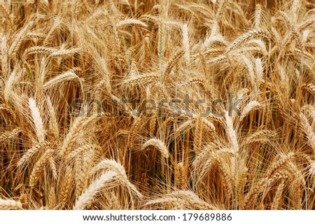 Gold wheat field - stock photo