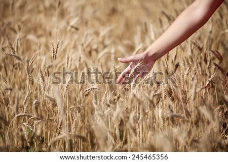 Gold wheat field  - stock photo