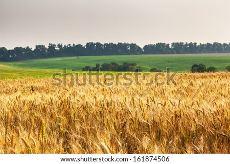 Gold wheat field and blue sky. Ukraine, Europe. Beauty world. - stock photo