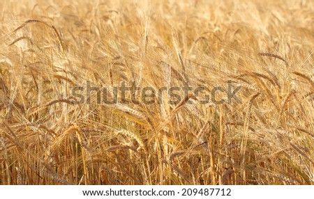 Gold  wheat field background.