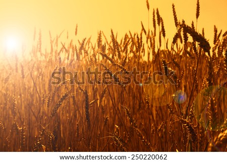 Gold wheat field, sunset - stock photo