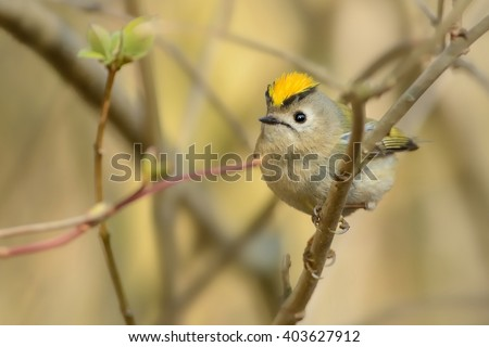 Goldcrest - Regulus regulus sitting on the branch and showing the crest