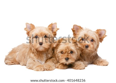 Golddust terriers - stock photo
