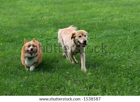 golden and corgi running together