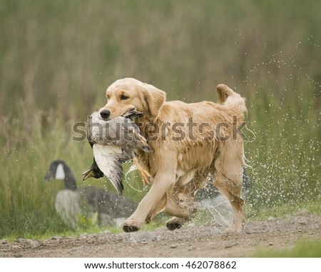 Golden and Labrador Retrievers, working dogs, duck hunting, retrieving on water and land.